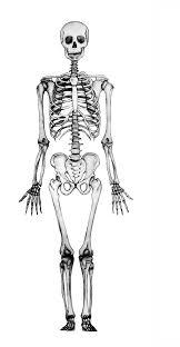 Resultado de imagen para el esqueleto humano