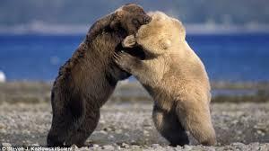 grolar bear size grizzly bear vs polar bear who will win