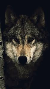 wolf wallpaper hd. Contemporary Wolf 2MB In Wolf Wallpaper Hd P