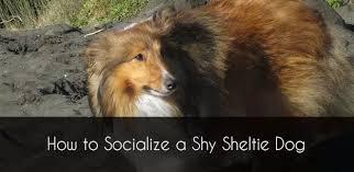 Sheltie Puppy Development In 16 Pictures