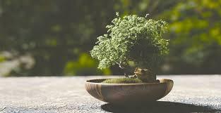 Le piante grasse possono rendere gli ambienti molto più accoglienti: Le Specie Di Piante Piu Utilizzate Come Bonsai