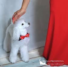 cute dog realistic poodle adoption