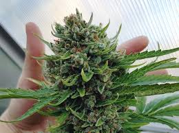 How To Harvest Dry Trim Cure Store Homegrown Cannabis