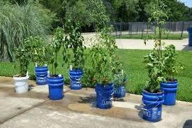 bucket gardening. Bucket Gardening Lovable 5 Gallon Vegetable Garden August The Club Tips N