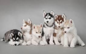 husky puppy wallpaper desktop. Delighful Wallpaper Siberian Husky Puppies  Hd Desktop Wallpaper With Puppy E