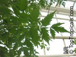 best azadirachta indica ideas neem powder heal  azadirachta indica antelaea azadirachta neem tree nim margosa tree vepa