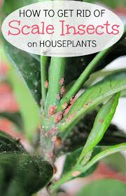 fighting houseplant scale can be super frustrating and scale on houseplants can be difficult to