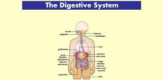 Also, test your knowledge in medical terminology. Anatomy And Physiology The Digestive System Test Proprofs Quiz