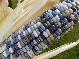 glass gem corn native seeds glass gem corn seeds