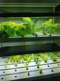 hydroponic strawberries growing quickly in the agrow cube chloe