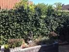 Jasmijn snoeien - tuinadvies