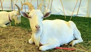 Dairy Goat Breeds Saanen Goat Breed Everything You Need To Know