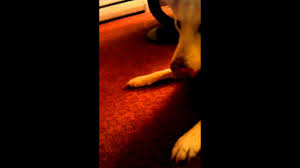Canaan dog plays with kong toy - YouTube