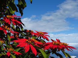 Weihnachtsstern Foto Bild Blumen Bilder Auf Fotocommunity