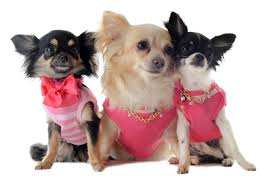 Chihuahua Clothes And Accessories At The Chihuahua Wardrobe