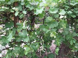 Front Range Food Gardener Pruning Grapes