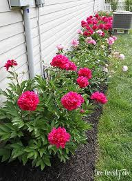 Small Picture Best 25 Peonies garden ideas on Pinterest Growing peonies