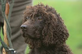 boatswain dog. whether he\u0027s splashing after ducks or showing off in the agility ring, canines irish water spaniel dog breed do everything with a sense of fun. boatswain n