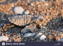 Tartaruga Caretta caretta, hatchling, Lycian Coast, Turchia, Mediterraneo,  Asia Minore Foto stock - Alamy