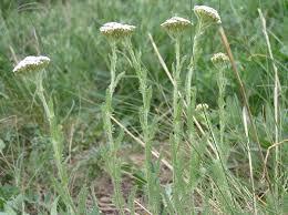 Achillea setacea - Wikispecies