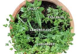 thai cuisine herb combination chilli lemongrass thai basil coriander
