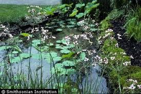 Plants Profile for Butomus umbellatus (flowering rush)