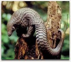 pangolins are scaly mammals that live in asia and africa poaching has made pangolins the most illegally trafficked mammals in the world