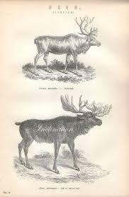 Antique Print Deer Chart 1 1890 Wall Art Vintage B W Engraving Illustration Animals
