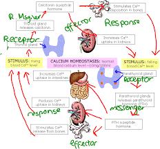worldofbiology biol calcium homeostasis