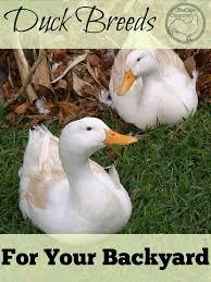 Domestic Duck Breeds Chart Great Backyard Duck Breeds The Cape Coop