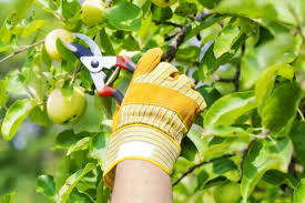 Summer Prune Fruit Trees  Organic Gardener Magazine AustraliaPrune Fruit Tree