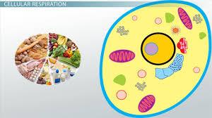 aerobic cellular respiration stages equation s lesson transcript study com