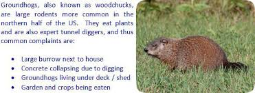 how to keep groundhogs out of my garden. Wonderful Keep How To Keep Groundhogs Away If You Need Groundhog Help Click My  Nationwide List Of Groundhog Removal Experts For A Pro Near You And To Out Of My Garden T