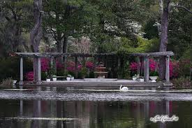 swans at airlie gardens in wilmington nc