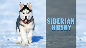 siberian husky puppy must know facts on the husky dog breed