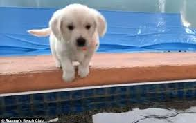 golden retriever puppies swimming. Perfect Retriever After Taking A Few Seconds To Sniff Out Its Surroundings This Puppy  Prepares Leap Throughout Golden Retriever Puppies Swimming