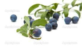 Εικόνες Φυτών... Images?q=tbn:ANd9GcT7uyGgR0WfsUYYl5mhoi8tWfcuNGdh_-_Y6ZsnuZUyKOjeq-Hu3Q