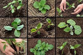 planting your first vegetable garden