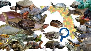 Conservation Status Of Each Turtle Species In Florida