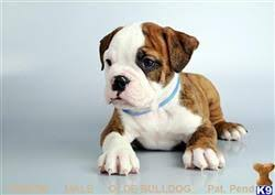 oceanside ca 92054 old english bulldog puppy posted by fancypuppy