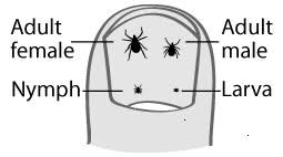 Tick Size Chart About Ticks Lyme Disease Action