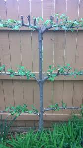 June Report 2002  Growing Fruit Trees In Small SpacesGrowing Cordon Fruit Trees