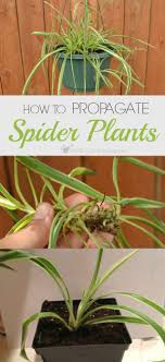How to Propagate Spider Plants for Your Home