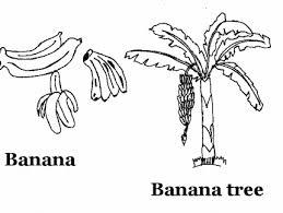 Small Picture Banana Tree Coloring Page Banana Tree Coloring Page In Coloring