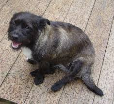 black cairn terrier mix. Beautiful Cairn The Left Side Of A Soft Looking Black And Tan With White Toxirn Dog Sitting For Black Cairn Terrier Mix