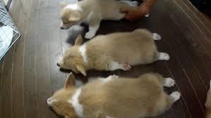 corgi puppy sleeping. Simple Sleeping Cute 10 Puppies U003d Chaos Part 10 Sleeping  Before Part 2   YouTube Throughout Corgi Puppy Sleeping O