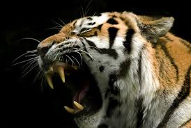 tiger roar side view. Brilliant Roar Tiger Roaring Side View  Photo1 For Roar Side View