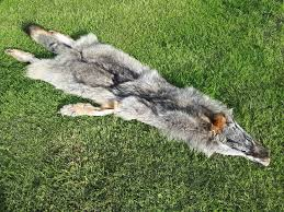 details about real wild coyote wolf fur rug pelt skin taxidermy