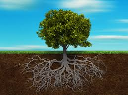 Image result for pictures of tree roots