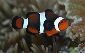 black and orange clown fish. Beautiful Clown Hybrid1011509gif  Throughout Black And Orange Clown Fish
